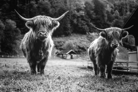 Scottish Highland Cow 50