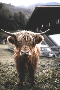 Scottish Highland Cow 51