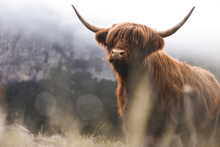 Scottish Highland Cow 52