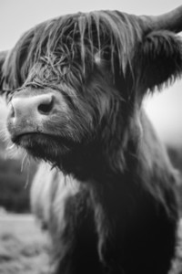 Scottish Highland Cow 53