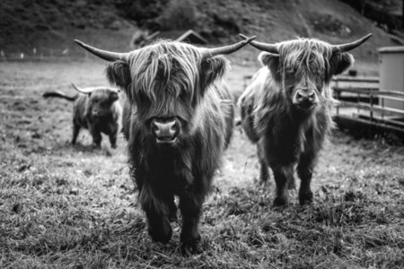 Scottish Highland Cow 54
