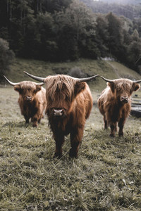 Scottish Highland Cow 55
