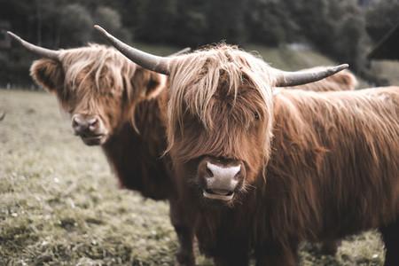 Scottish Highland Cow 56
