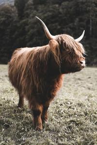 Scottish Highland Cow 58