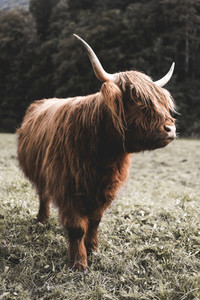 Scottish Highland Cow 58