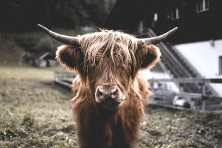 Scottish Highland Cow 59