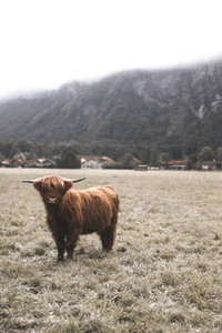 Scottish Highland Cow 60