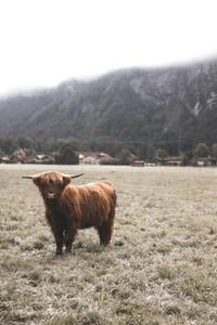 Scottish Highland Cow 60