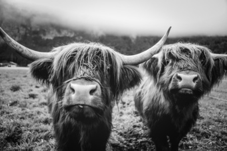Scottish Highland Cow 61