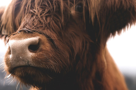 Scottish Highland Cow 62