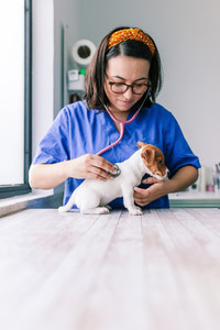 Veterinary listening to a jack russell terrier puppy