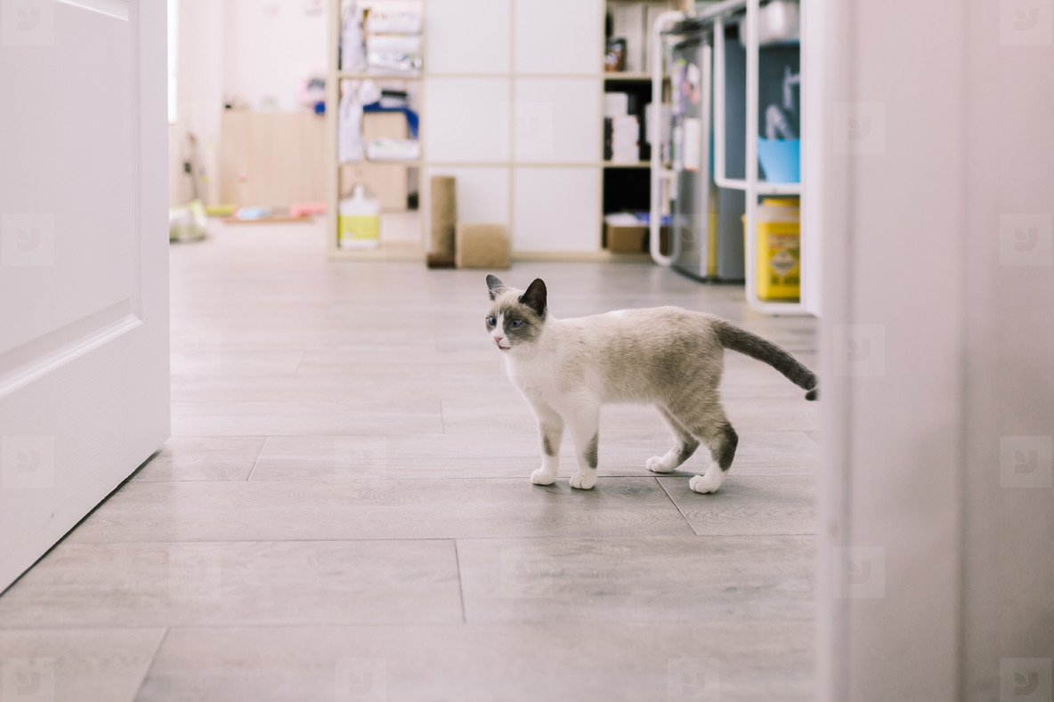 Puppy cat walking in a veterinary clinic
