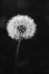 Black and White Dandelion 7