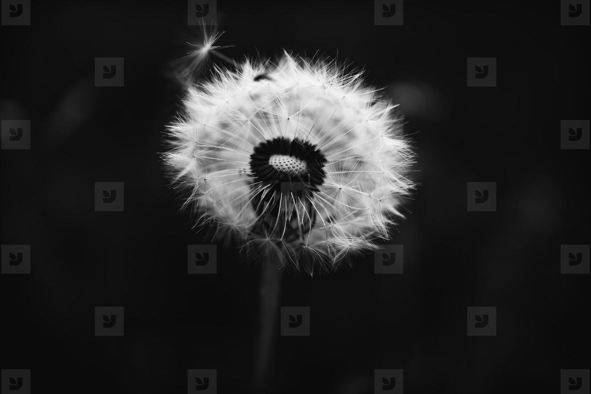 Black and White Dandelion 8