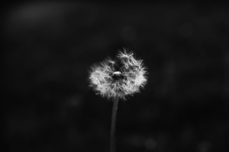 Black and White Dandelion 9