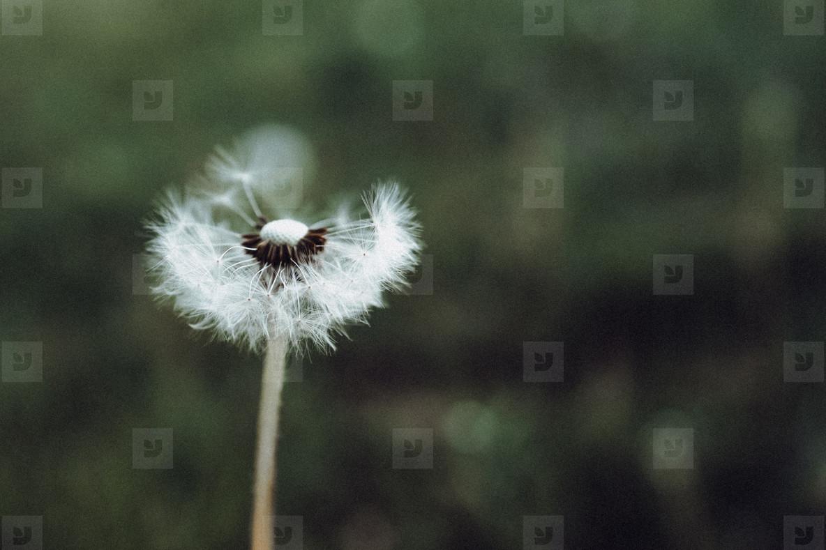 Black and White Dandelion 10