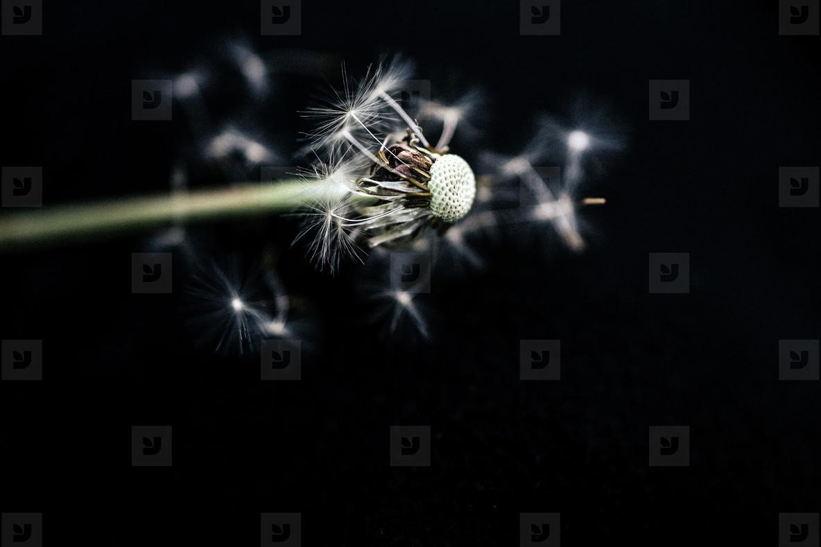 Black and White Dandelion 30