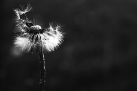 Black and White Dandelion 28