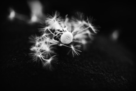 Black and White Dandelion 29