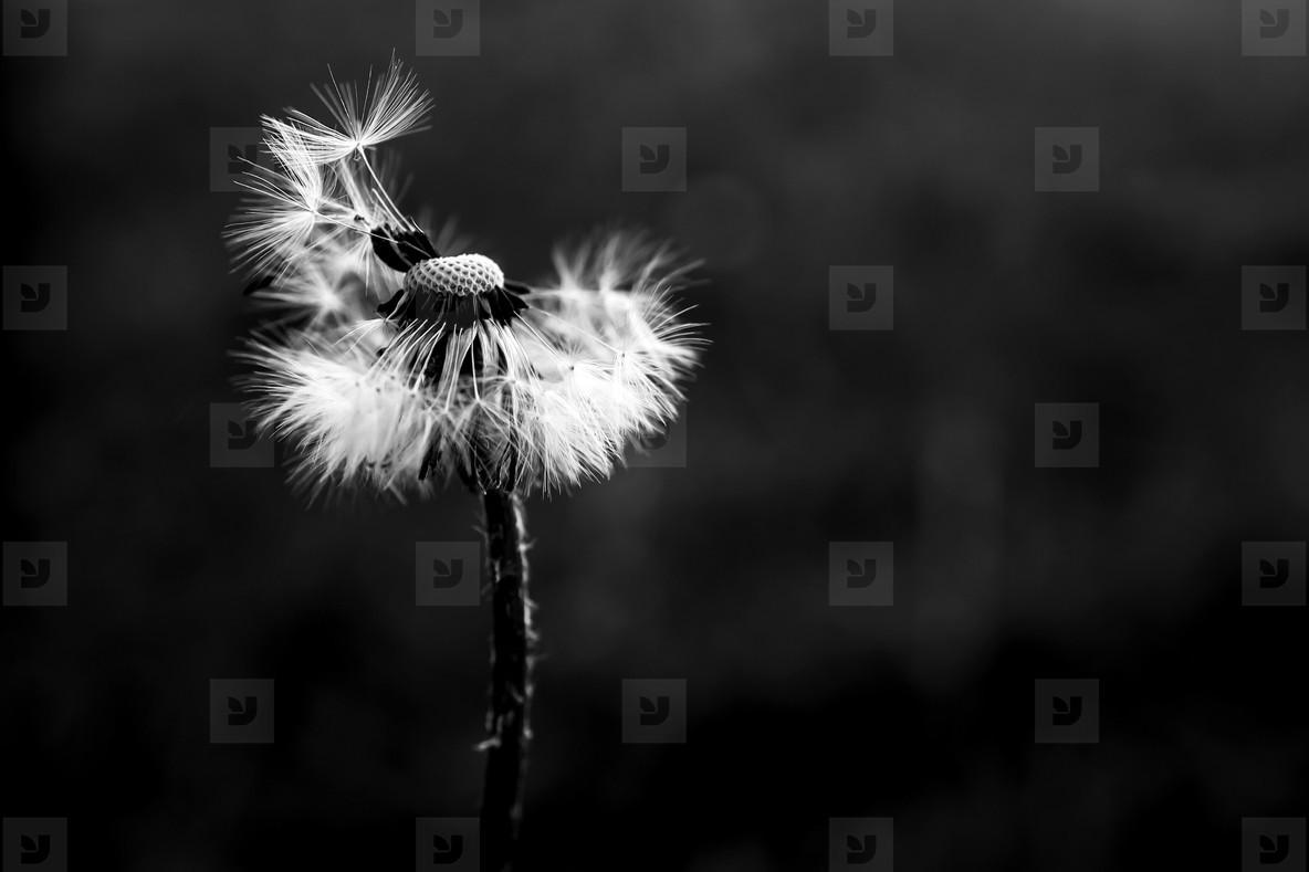 Black and White Dandelion 27