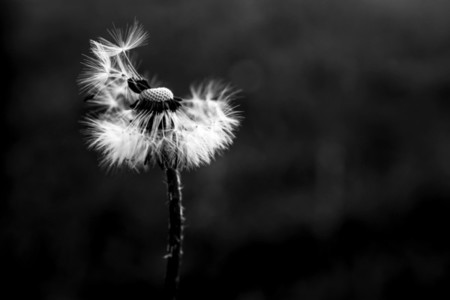 Black and White Dandelion 27