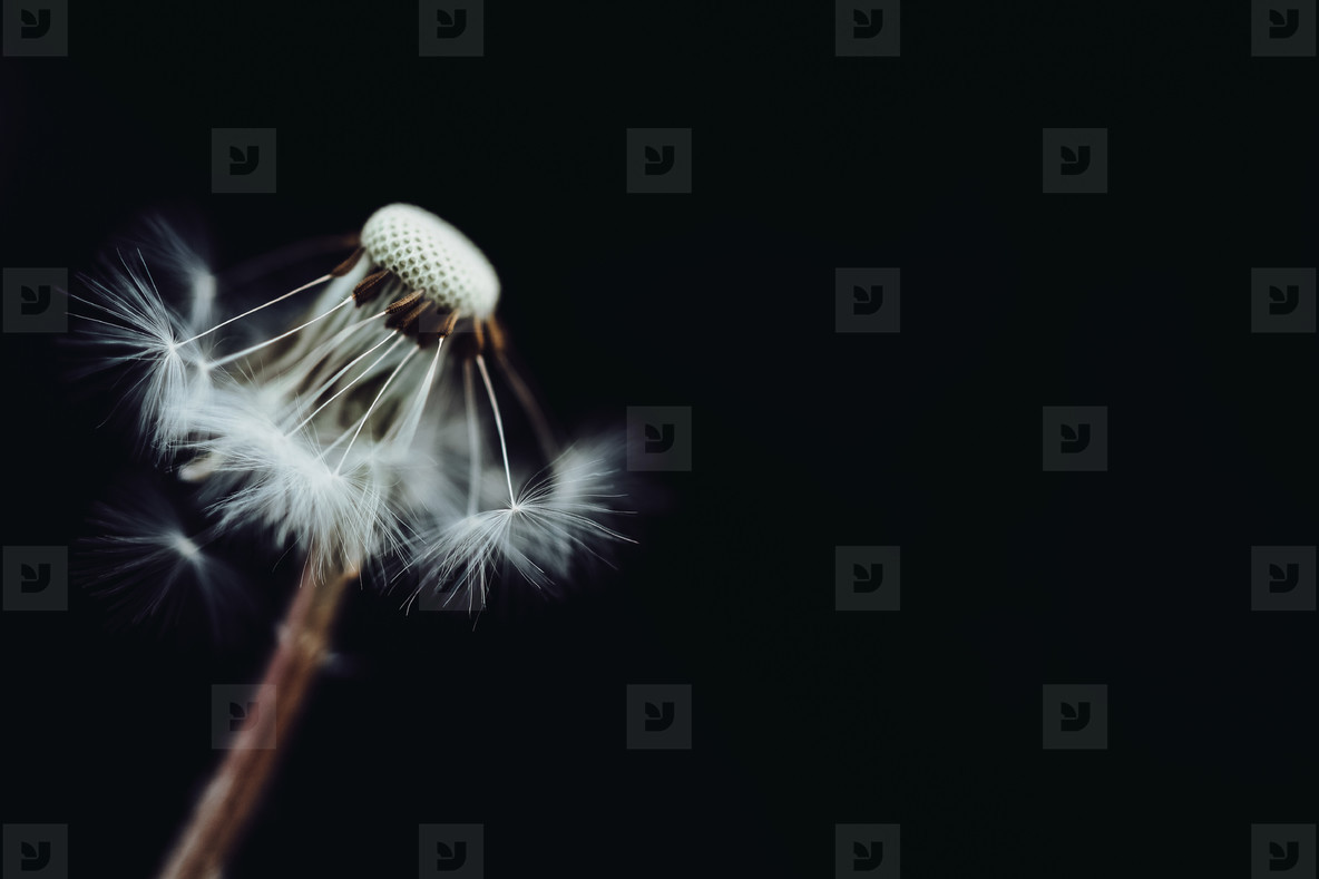 Black and White Dandelion 24