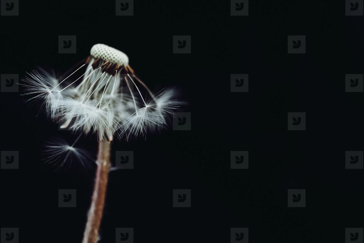 Black and White Dandelion 23