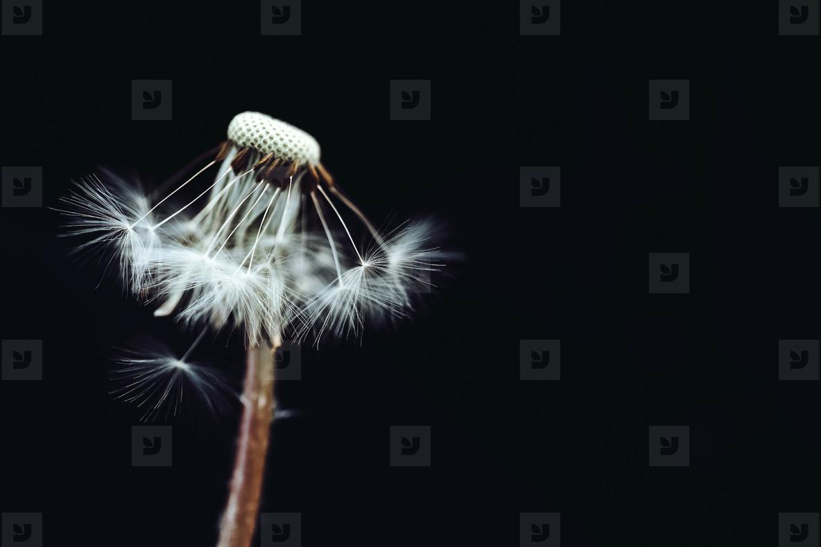 Black and White Dandelion 22