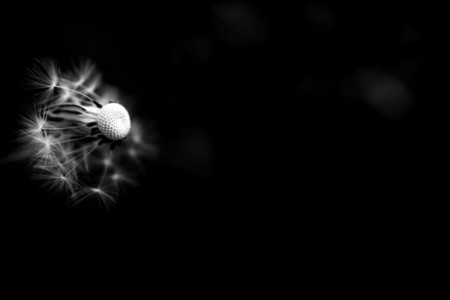 Black and White Dandelion 20