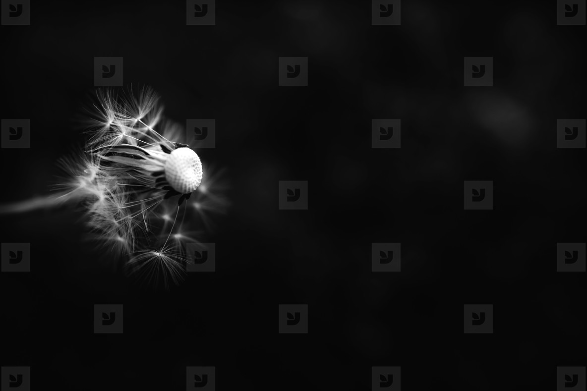 Black and White Dandelion 19