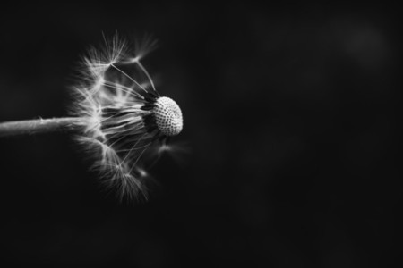 Black and White Dandelion 17