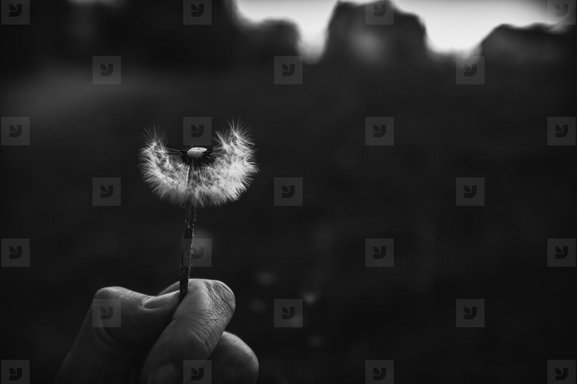 Black and White Dandelion 15