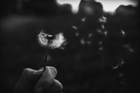 Black and White Dandelion 14