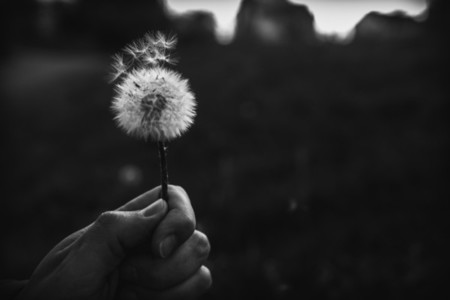 Black and White Dandelion 13