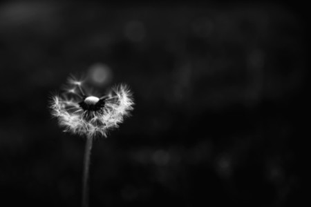 Black and White Dandelion 11