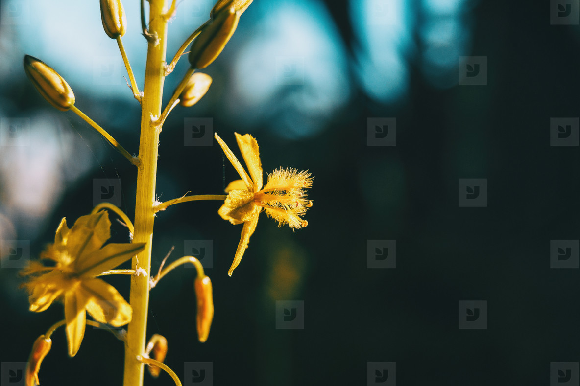 Detail of a yellow flower of narthecium ossifragum