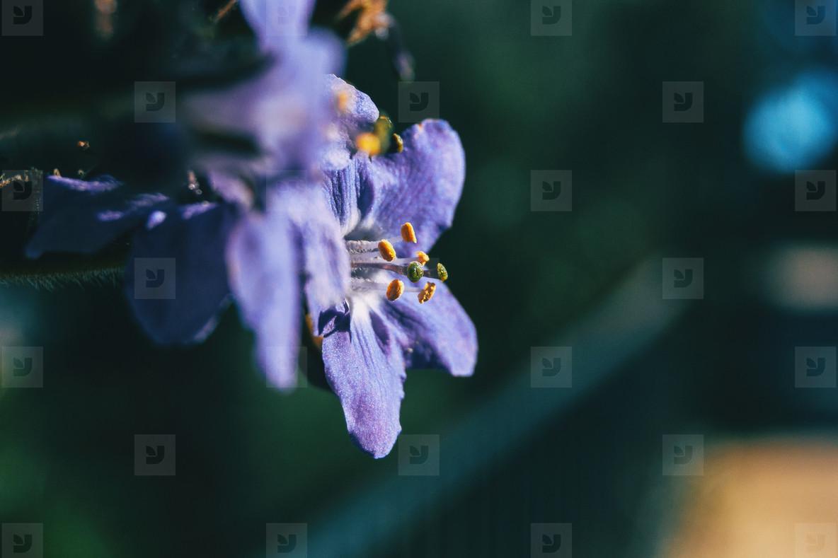 Detail of the stamens of a purple flower of polemonium caeruleum
