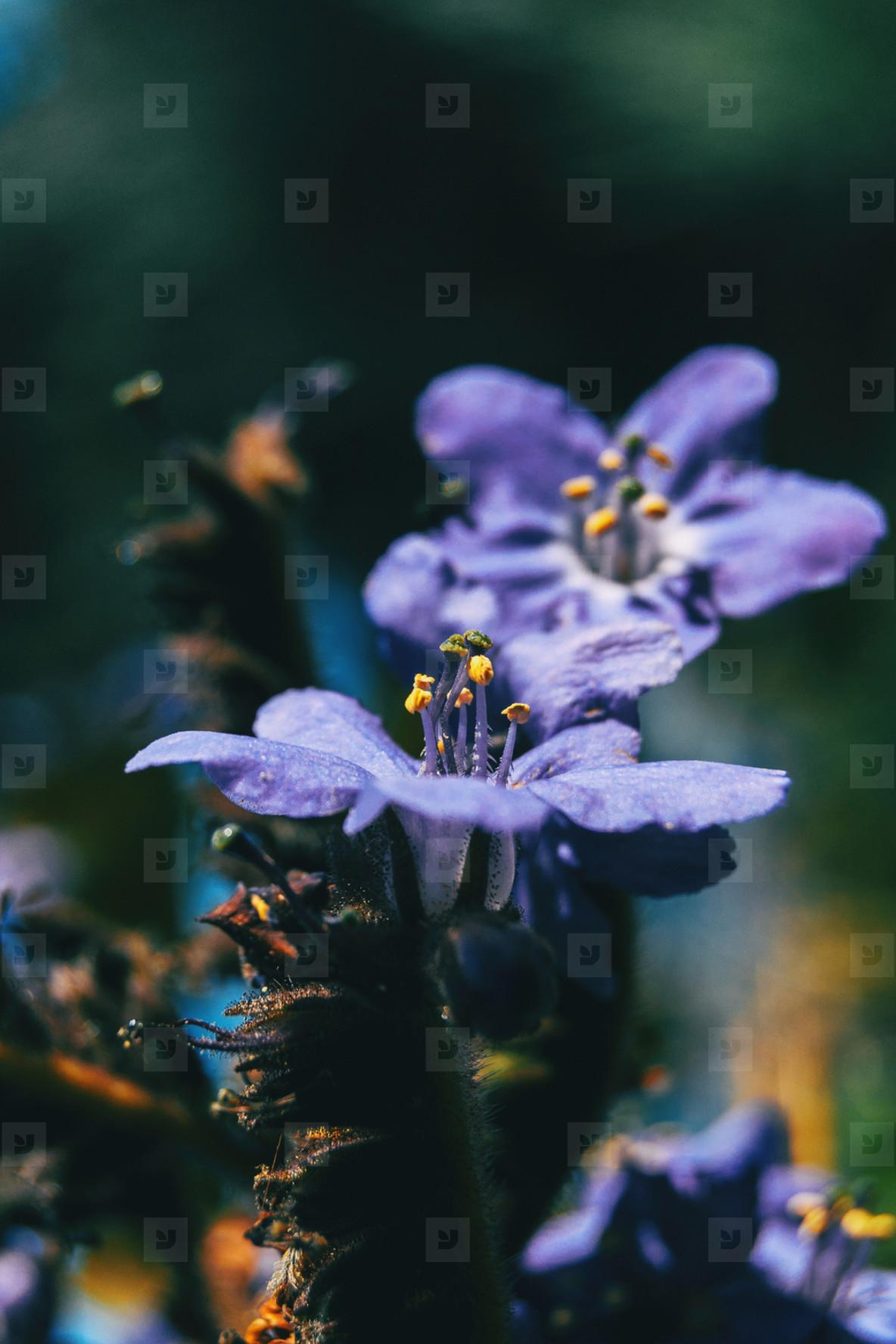 Close up of the erected stamens of a purple flower of polemonium caeruleum