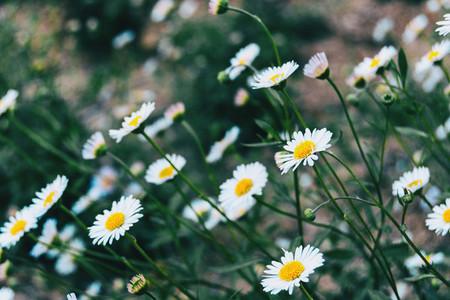 Many white flowers of leucanthemum vulgare growing towards the sun