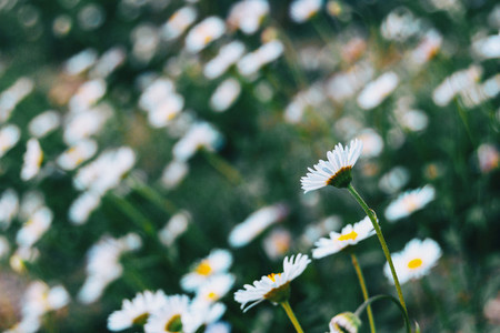 Close up of a white flower of leucanthemum vulgare on its back