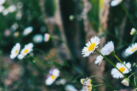 Close up of a white flower of leucanthemum vulgare facing the sun