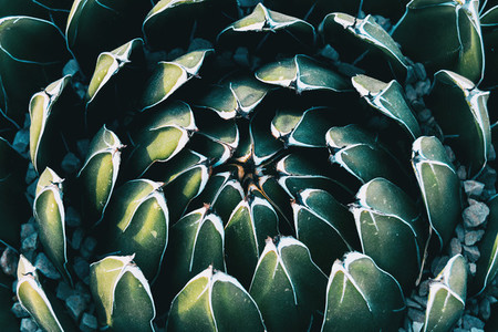 Close up of the circular pattern formed by the leaves of an agave victoriae plant