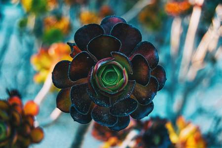 Close up of a garnet rosette of aeonium arboreum