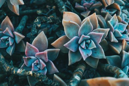 Close up of a pair of fleshy flower of graptopetalum paraguayense