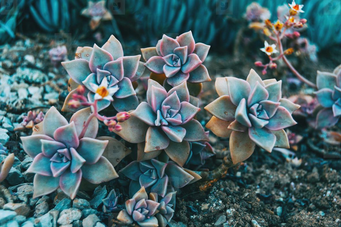 Close up of some graptopetalum paraguayense flowers