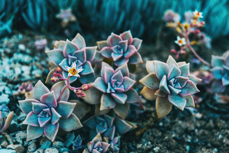 Close up of some graptopetalum paraguayense flowers and a beautiful bud growing on it