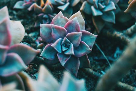 Close up of a fleshy flower of graptopetalum paraguayense