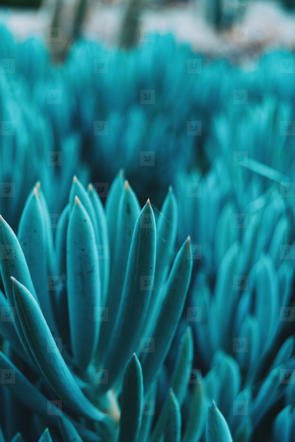 Close up of a bluish kleinia mandraliscae plant
