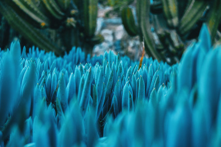 Close up of some bluish kleinia mandraliscae plants taken at ground level