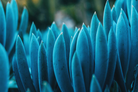 Detail of some bluish leaves of kleinia mandraliscae